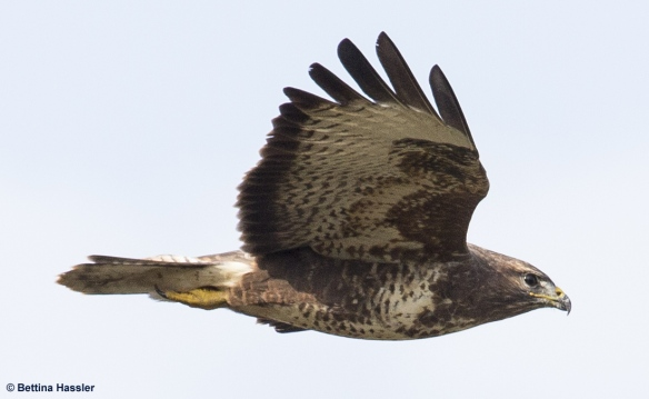 Bussard2-Bettina-Hassler-28-09-13