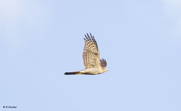 Der Sperber gehört zu den besonders und streng gechützten Vogelarten