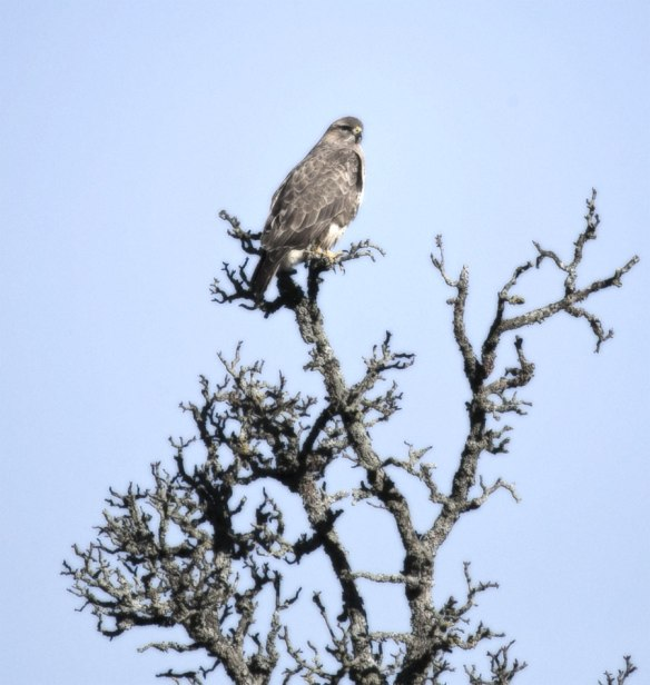 Bussard-Bettina-Hassler-28-01-14