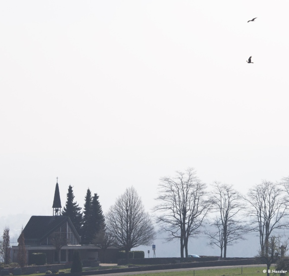 Balzendes-Rotmilan Paar über Rimmelsbacher Hof - 26-03-14; 10.52 Uhr
