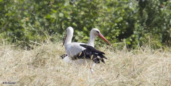 Storchen-Paar-14-06-26-Bettina-Hassler