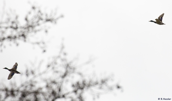 15-04-11-Stockenten-Bettina-Hassler