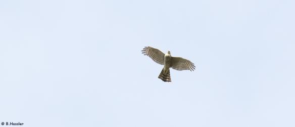 15-10-24-Sperber-Weibchen-Bettina-Hassler