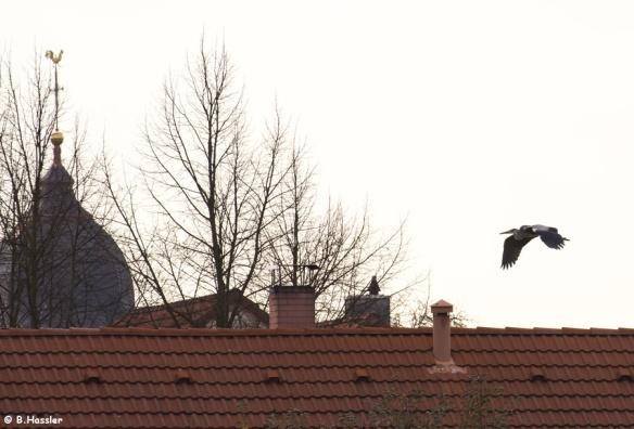 15-11-12-Graureiher-Bettina-Hassler