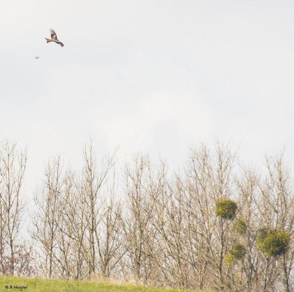 Einer unserer Stand-Rotmilane auf der Suche nach Nahrung - 07-03-16
